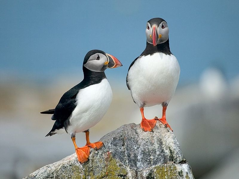 Atlantic puffins on Machias Seal Island in the Gulf of Maine.