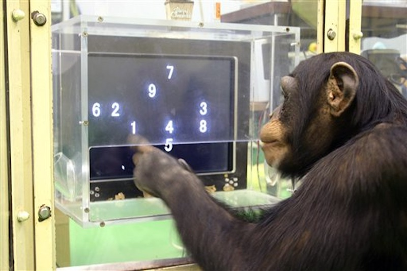 """In this Dec. 13, 2006 photo provided by the Primate Research Institute of Kyoto University, a 5 1/2-year-old chimpanzee named Ayumu performs a memory test with randomly-placed consecutive Arabic numerals, which are later masked, accurately duplicating the lineup on a touch screen computer in Kyoto, Japan. The young chimpanzees in the study titled """"Working memory of numerals in chimpanzees"""" by Sana Inoue and Tetsuro Matsuzawa could memorize the nine numerals much faster and more accurately than human adults. The evidence that animals are more intelligent and more social than we thought seems to grow each year, especially when it comes to primates. It's an increasingly hot scientific field with the number of ape and monkey cognition studies doubling in recent years, often with better technology and neuroscience paving the way to unusual discoveries. (AP Photo/Primate Research Institute of Kyoto University)"""