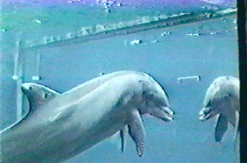 In this undated image made available by Dr. Diana Reiss, a bottlenose dolphin looks at its reflection in a mirror. A groundbreaking 2001 study by Reiss and Emory University researcher Lori Marino in 2001 showed dolphins recognizing themselves in mirrors, proving they have a sense of self similar to humans.