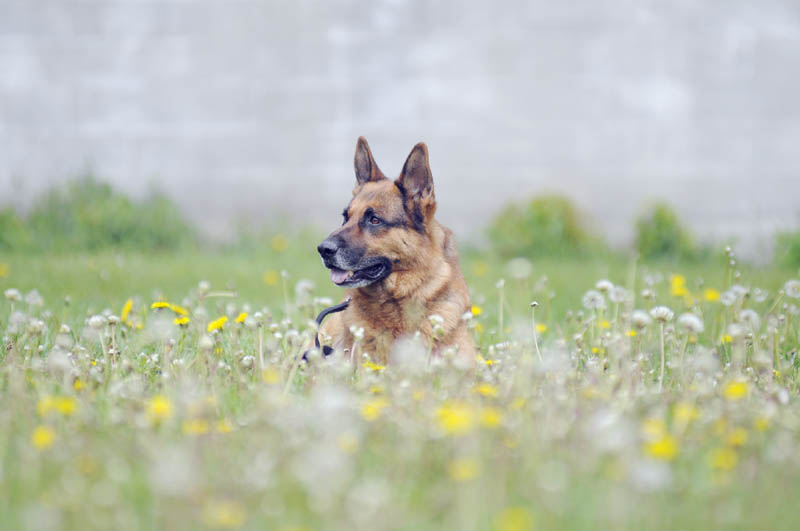 RETIRED: Gib, who is retiring from tracking and catching suspects as a police dog, is seen during a training session in Vassalboro last month.