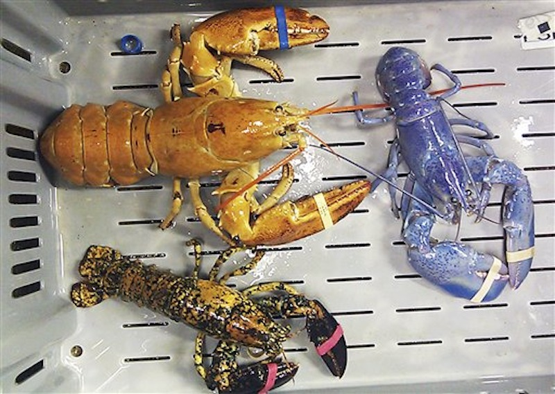 This photo provided by Rebecca McAleney shows a bright orange, left, a bright blue, right, and a calico lobster at New Meadows Lobster in Portland, Maine, Tuesday, June 26, 2012. It's unusual enough to come across a 1-in-a-million blue lobster, but the lobster dealer has the three rare bright-colored lobsters at the same time. (AP Photo/Rebecca McAleney)