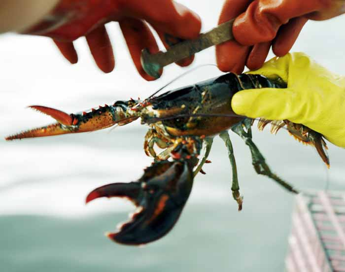 In this Aug. 24, 2009, file photo, a lobster is measured off of Cundy's Harbor, Maine, to determine whether it is of legal size to keep.