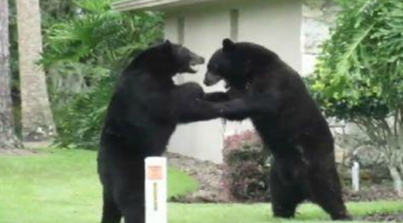This screen shot of a video taken in Longwood, Fla. in June 2012 shows two black bears playfully wrestling on a homeowner's front lawn.