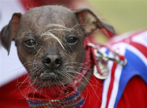 "Mugly, a Chinese crested dog, owned by Bev Nicholson of Peterborough, England, won the title of ""World's Ugliest Dog"" at the Sonoma-Marin Fair in Petaluma, Calif., on Friday."