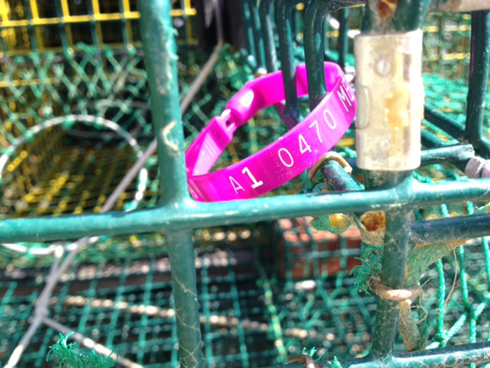 A lobster license tag is shown on a trap in Harpswell. Maine's 4,500 lobstermen are required to have the identifying tags on their traps. Officials are trying to find out who is illegally hauling traps that belong to licensed fishermen in the Gulf of Maine.