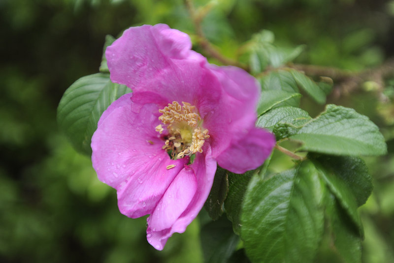 A rosa rugosa, also known as a beach rose, is in bloom at Ferry Beach State Park in Saco.