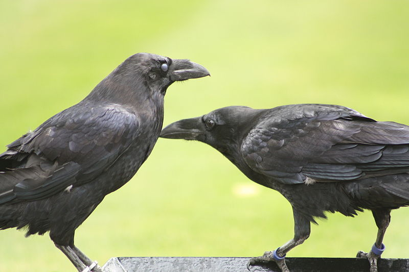 "Ravens – and all the other players in the world's ""biosymphony"" – have evolved a musical language all their own, including imitations of sounds they hear."