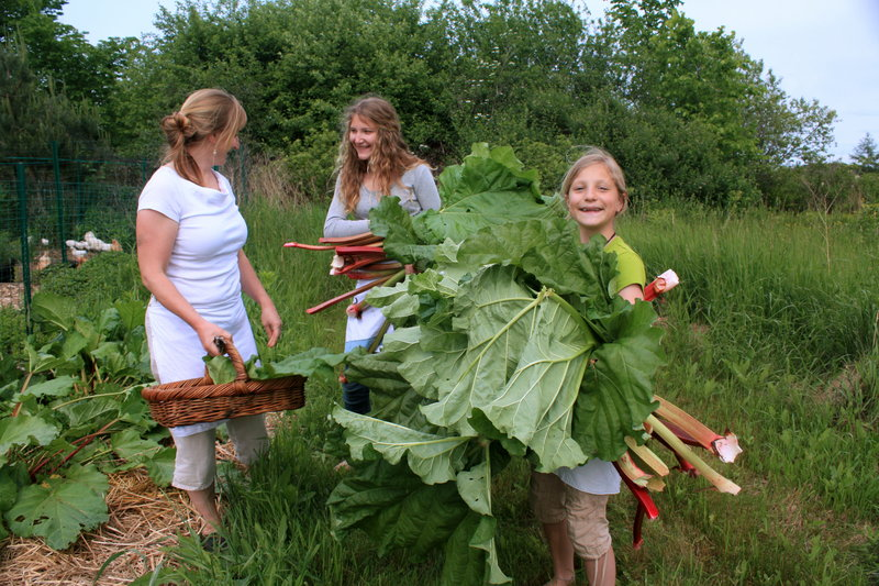 Anne Mahle and daughters Chloe, center, and Ella harvest rhubarb from the family plot.