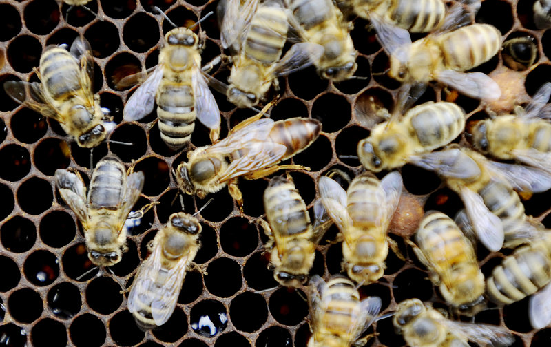A queen bee, center, is surrounded by some other bees on a frame at Rusty Creek Farm in Arundel.