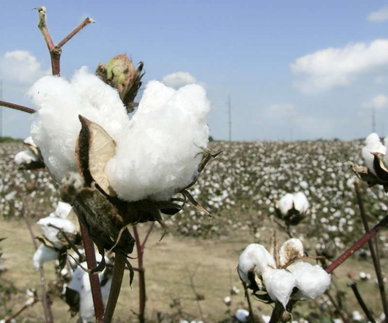 China's purchases of U.S. cotton may help futures post a second weekly gain.