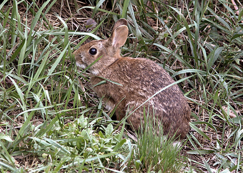 Once common throughout the Northeast, New England cottontails are on the state list of endangered species in New Hampshire and Maine. The rabbit's ideal habitat is dense patches of shrubs and brush.
