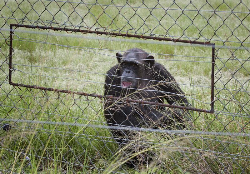 A chimpanzee sits in an enclosure at the Chimpanzee Eden rehabilitation center in South Africa. The international institute was founded by primatologist Jane Goodall.