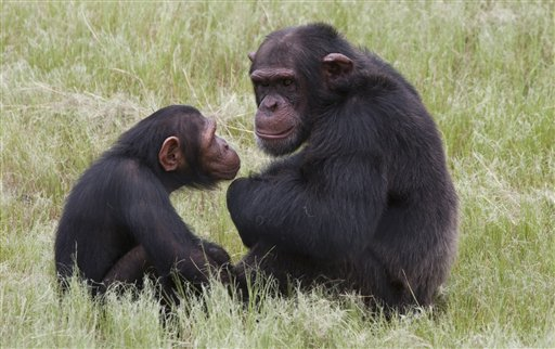 Chimpanzees sit in an enclosure at the Jane Goodall Institute Chimpanzee Eden rehabilitation center near Nelspruit, South Africa. Chimps attacked an American graduate student Thursday.