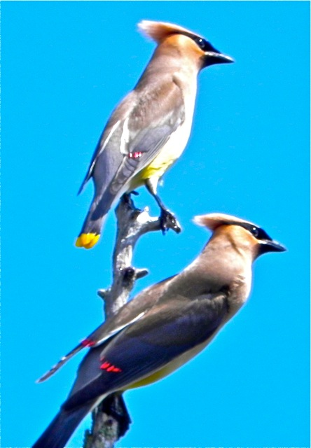 Cedar waxwings are very social birds and not wary at all of canoeists, which helps to make the journey to the Caucomgomoc shoreline a delight.