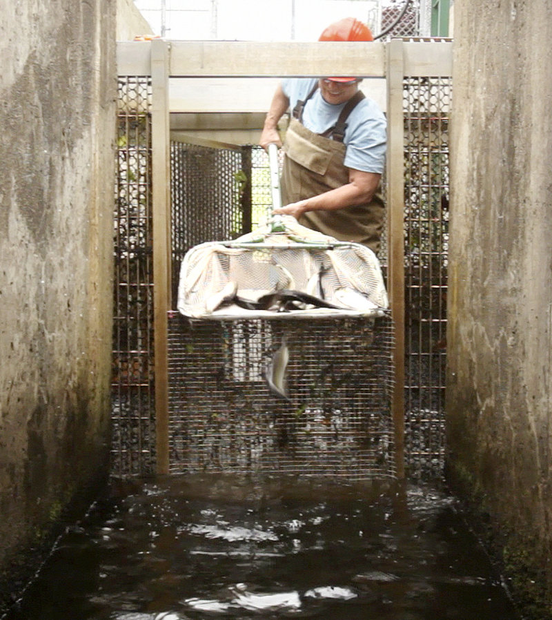 "Lee Sochasky works with alewives at the Milltown Dam fishway in New Brunswick, Canada, last month. The International Joint Commission has put forward an ""adaptive management plan"" that may offer a compromise in the fight to open up the St. Croix River watershed to the fish."