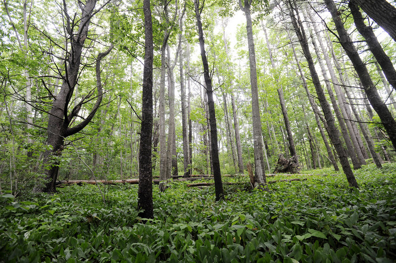 Forest in the Robinson Woods II parcel is part of the 63 acres the Cape Elizabeth Land Trust is raising money to purchase.