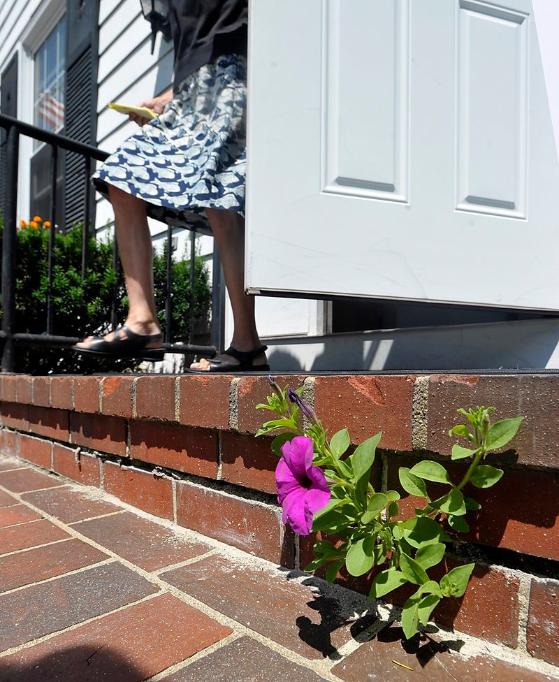 "Falmouth Town Clerk Ellen Planer came to work Monday morning to find this petunia flowering from the brick stairs at the front door of Falmouth Town Hall. ""Everybody are just amazed as they come in. It gives you a good feeling to see that flower blooming through the brick,"" she said."