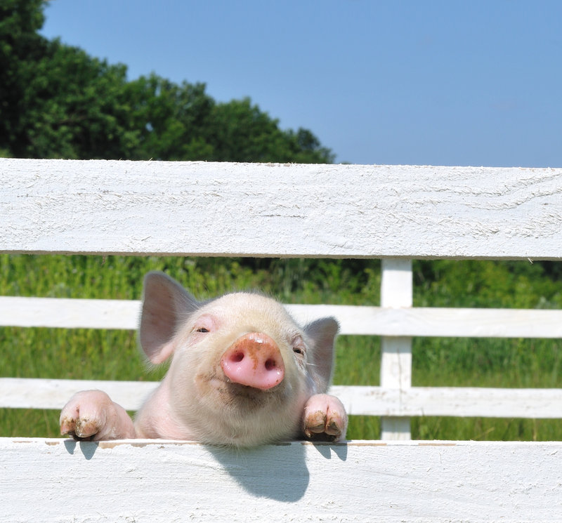 There will be pigs –and a pig scramble – along with other livestock, events and exhibits at the annual Ossipee Valley Fair, opening today and continuing through Sunday at the fairgrounds in South Hiram.