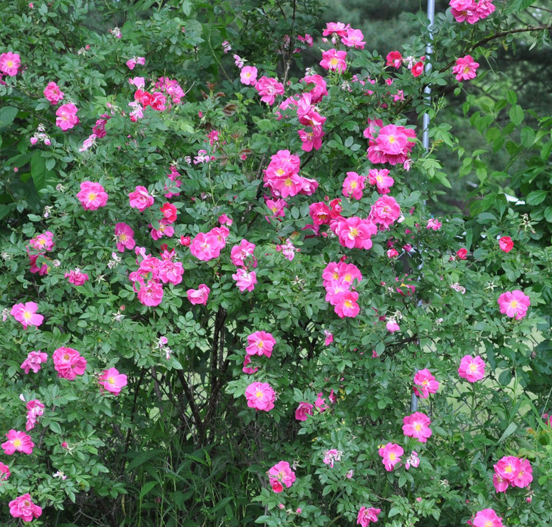 William Baffin roses are one of the Canadian Explorer series of black spot-resistant varieties.