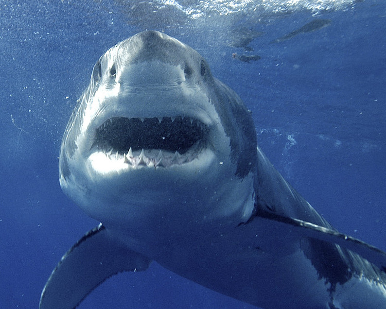 A great white shark is pictured near Guadalupe Island, 150 miles off Mexico's Baja California peninsula.