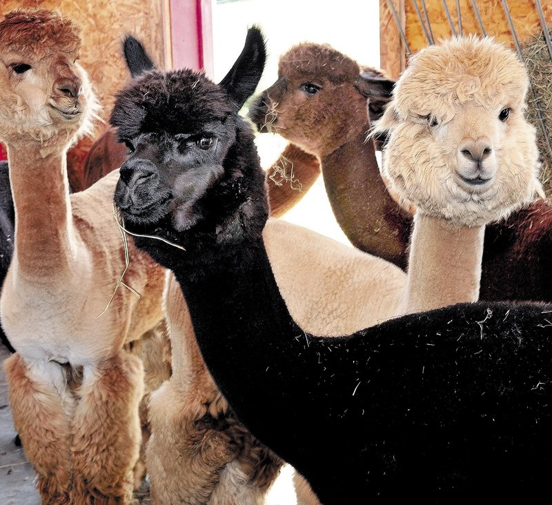 The docile faces of alpacas look at visitors at the Misty Acres Alpaca Farm in Sidney during Open Farm Day on Sunday.