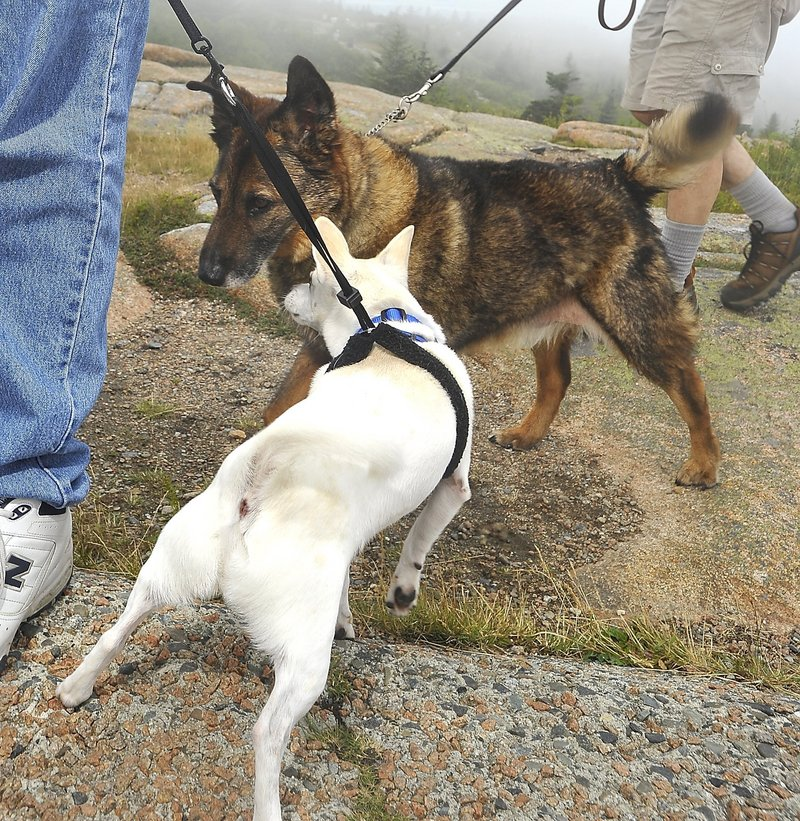 Dogs make contact during a walk in Acadia National Park last summer. Peaks Island has a leash law, but the continuing lack of compliance and enforcement has resulted in attacks on people and other animals, a reader says.