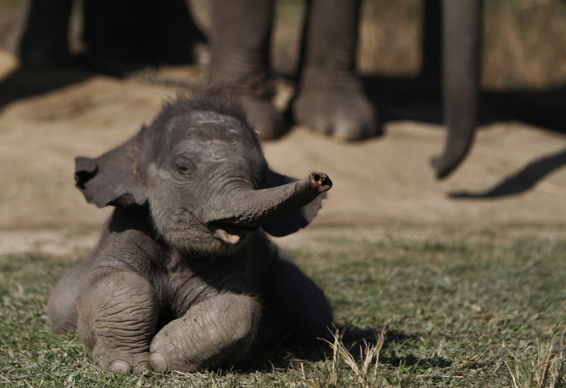 The ivory trade was banned worldwide in 1989, to protect against poaching of elephants like this 16-day-old baby in Nepal. Advocates for restoring legal trade say it could help pay for conservation and reduce black-market demand.