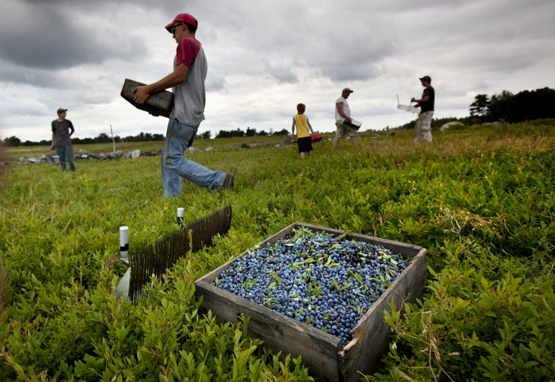 Workers harvest wild blueberries on Friday at the Ridgeberry Farm in Appleton. Maine is the country's top wild blueberry state, and this year's harvest could be the largest since 2000, growers say.