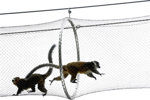 Mongoose lemurs run on a protected path above a walkway at Philadelphia Zoo Monday, Aug. 20, 2012, in Philadelphia. The zoo is in the process of building a trail network that will allow animals from similar habitats to travel among the exhibits. (AP Photo/Matt Rourke)