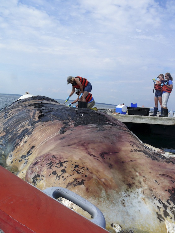 On Tuesday, Aug. 14, a male sperm whale, estimated at 50 feet was towed to an offshore dock near the College of the Atlantic. The whale was found dead and floating off of Schoodic Point by a local fisherman. Allied Whale, the marine mammal research program of College of the Atlantic, was subsequently contacted. Allied Whale is authorized by NOAA Fisheries to respond to all marine mammal strandings from Rockland, Maine north to the Canadian border. Marine mammals are federally protected animals in the United States. College of the Atlantic crew gather data on the sperm whale.