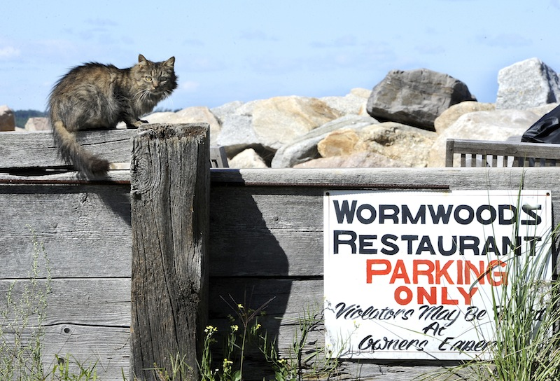 This cat perched atop a wall in the parking lot alongside Wormwoods Restaurant at Camp Ellis in Saco on Wednesday, August 29, 2012.