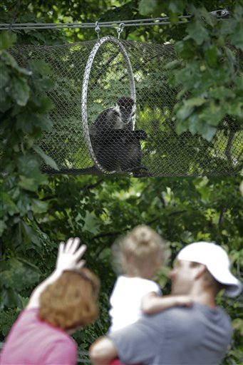 Visitors to the Philadelphia Zoo look at a red-capped mangabey sitting in a protected path Monday, Aug. 20, 2012, in Philadelphia. The zoo is in the process of building a trail network that will allow animals from similar habitats to travel among the exhibits. (AP Photo/Matt Rourke)