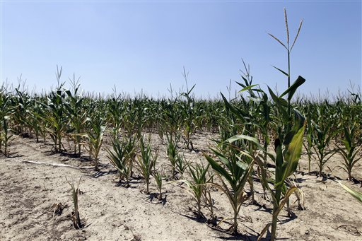 Drought-damaged corn is seen in a field in Westfield, Ind., Wednesday, Aug. 1, 2012. More than half of U.S. counties now are classified by the federal government as natural disaster areas mostly because of the drought. The U.S. Agriculture Department on Wednesday added 218 counties in a dozen states as disaster areas. That brings this year's total to 1,584 in 32 states, more than 90 percent of them because of the drought. (AP Photo/Michael Conroy)