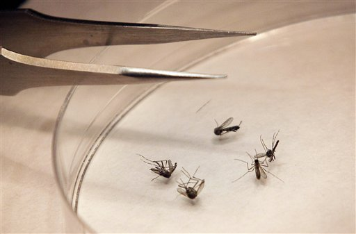 In this Aug. 16, 2012 file photo, mosquitos are sorted at the Dallas County mosquito lab in Dallas. West Nile virus has been found in a mosquito sample from the southern Maine town of Standish. (AP Photo/LM Otero, File)