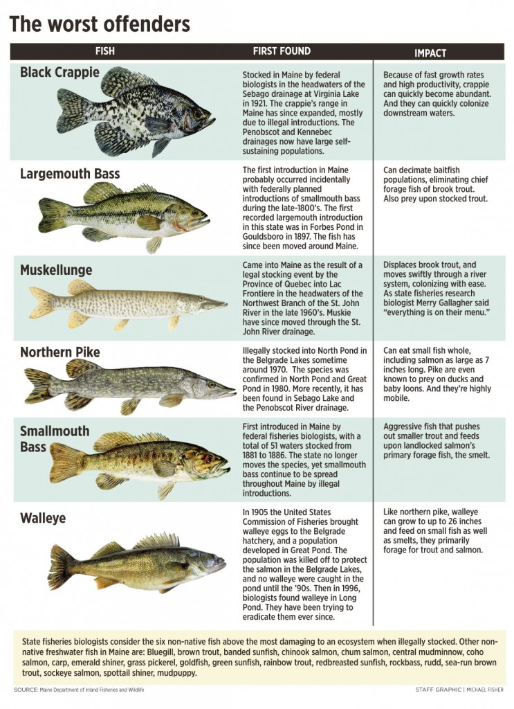 Troubled waters for wild brook trout portland press herald for Maine state fish