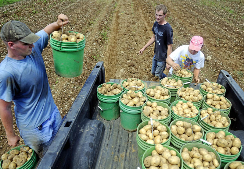 Joshua Craft, left, Mitchell Nemeth and Ryan Beaulieu stack potatoes they harvested at the Seaman Farm in Litchfield in August. Maine farmers have been urged to apply for federal disaster funds.