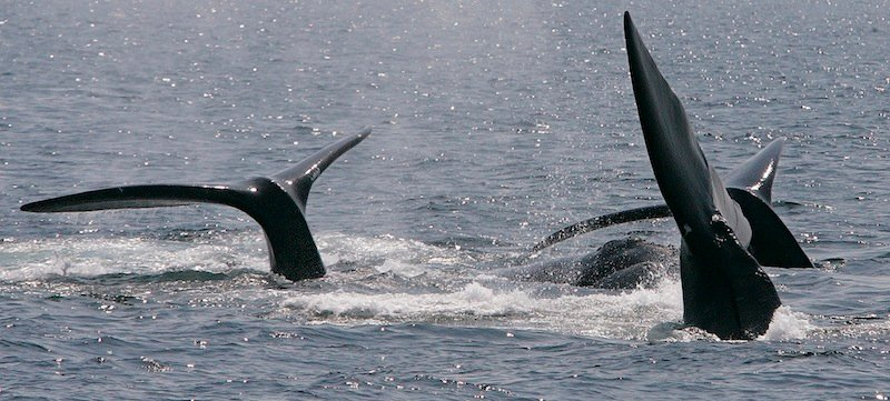 This April 10, 2008 file photograph shows three right whales cresting their tails on the surface near Provincetown, Mass., in Cape Cod Bay. A study off the Massachusetts coast has concluded that increasing amounts of underwater noise, largely from shipping traffic, is surrounding rare right whales in an