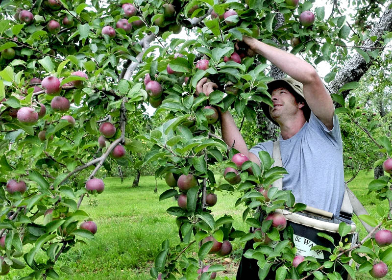 Jason Davis picks apples grown at the Cayford apple orchard on in Skowhegan in 2011. Yield is expected to be down 10 to 20 percent this year due to a frost that followed an early spring.
