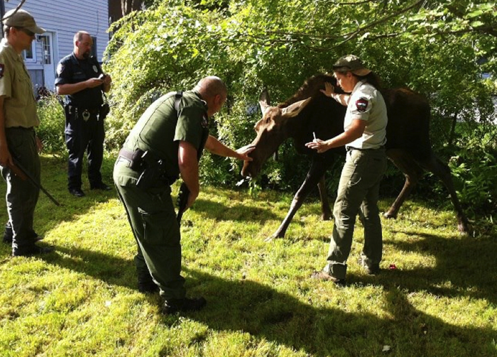 This photo provided by the Westbrook Police Department shows the young cow moose that was tranquilized and captured Wednesday morning in Westbrook.