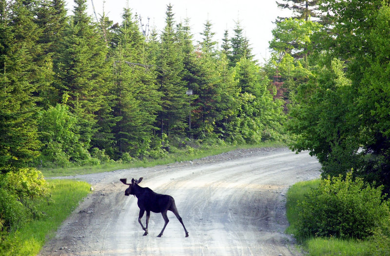 A bull moose crosses a logging road near Kokadjo, Maine. Hunters have bid nearly $9,000 for a chance to bag a moose in New Hampshire.