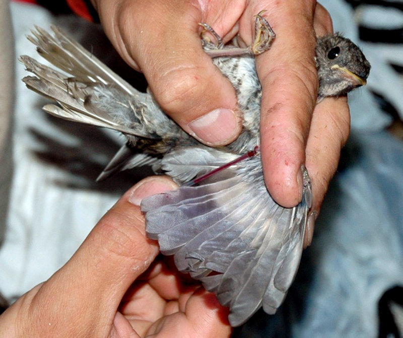 Juan Klavins fills a glass capillary tube with blood to be tested for mercury from a Bicknell's thrush captured in New York. A federal agency says the songbird, which breeds atop mountain peaks in Maine and the Northeast, has one of the most limited breeding and wintering ranges of any bird in North America.