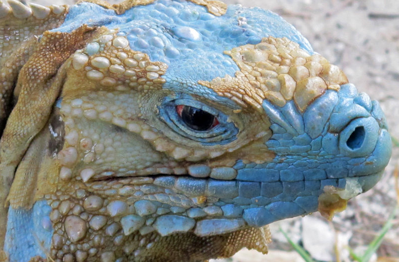 "An adult blue iguana nicknamed ""Biter"" begins to show its turquoise coloring as it sheds its dead skin earlier this month at the Queen Elizabeth II Botanic Park on Grand Cayman island."