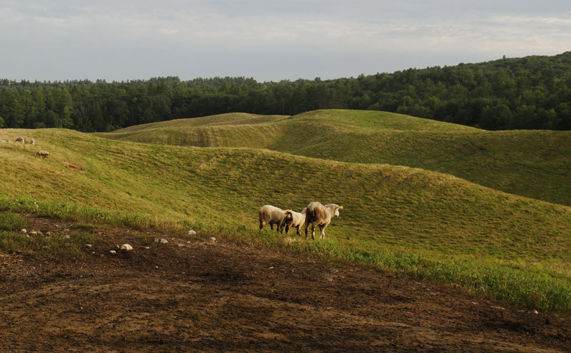 Sheep graze on land at Collyer Brook Farm in New Gloucester that Phil and Lisa Webster are leasing to grow their lamb operation.