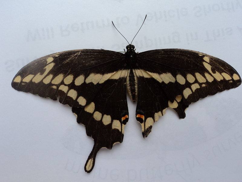 Giant swallowtails have been seen extensively in Massachusetts and Vermont this season, and reports are filtering in of sightings in Maine.