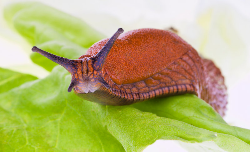 Garden centers and homeowners report an abundance of slugs this summer. Their munching can seriously injure the health of plants, especially vegetables.