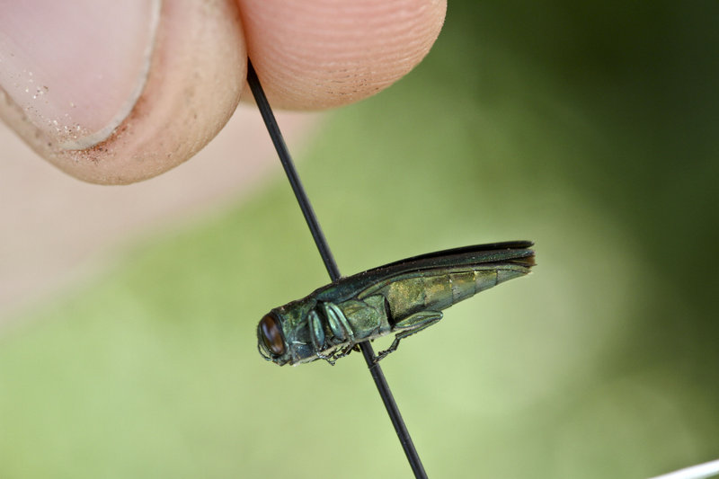 The emerald ash borer has reached the Hudson River Valley, but not Maine so far.