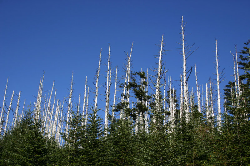 Trees in Great Smoky Mountains National Park show devastation from the hemlock woolly adelgid, a pest that has been found in Maine.