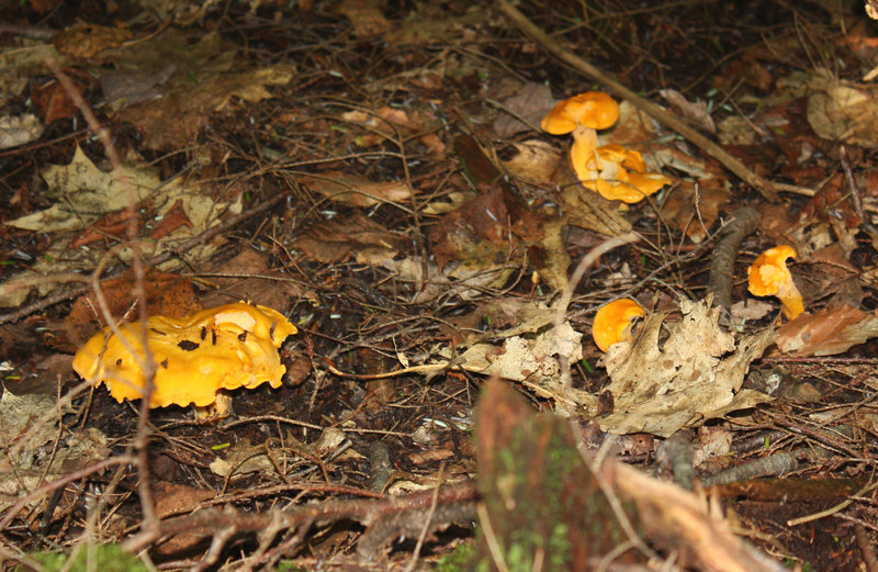 Week-old chanterelles stand out against the brown leaf litter of the forest floor.
