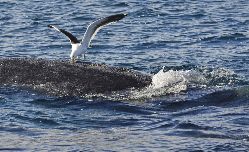 A seagull pecks at a whale in the southern Atlantic Ocean near Puerto Piramides, Argentina. The birds create open wounds, which they feed from each time the whale surfaces.
