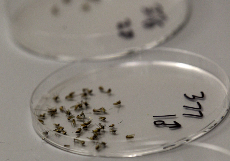 Dead mosquitoes are lined up for sorting this month at a Dallas County lab in Dallas. The West Nile virus has hit Texas the hardest, accounting for half of the reported cases.